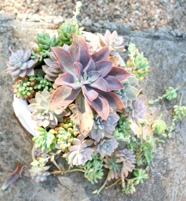 BROOKEEVA.COM SUCCULENTS 5